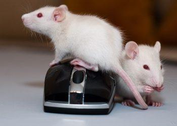 Домашние крысы в квартире - фотоотчет