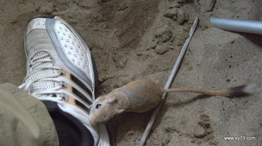 Самарские тушканы пробуют на вкус мой кросовок