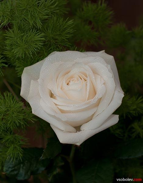 Проходя мимо валентиновских роз ....